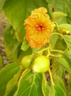 fleur et fruits verts Cordia subcordata TOU (JYM)