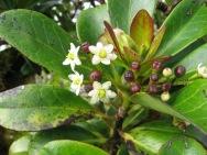 fleurs et très jeunes fruits Ilex anomala MAIRAI (JYM)