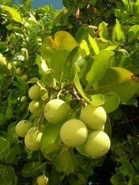 fruits verts Calophyllum inophyllum TAMANU (JYM)