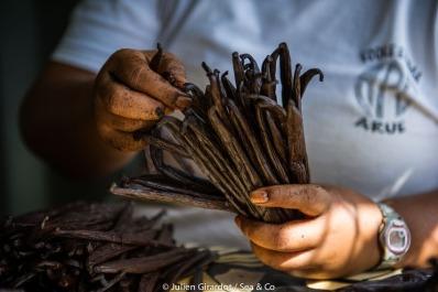 OCTOBRE 2013 - ïle de Raiatea - Archipel de la société - Îles sous le vent - Travail de la vanille - Grossiste et exportateur - La vanille de Tahiti est un produit de haute gastronomie destiné principalement à l'exportation.